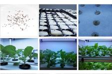 Kale Germination - Transplant - Graft - Harvest
